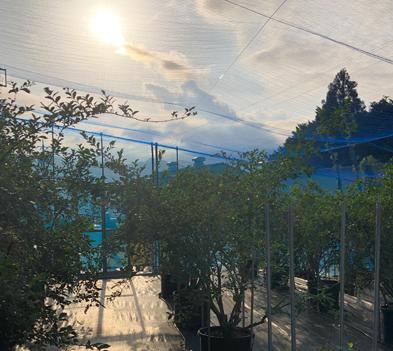 紀北町の優しい太陽の恵みをいっぱいに浴びるブルーベリー